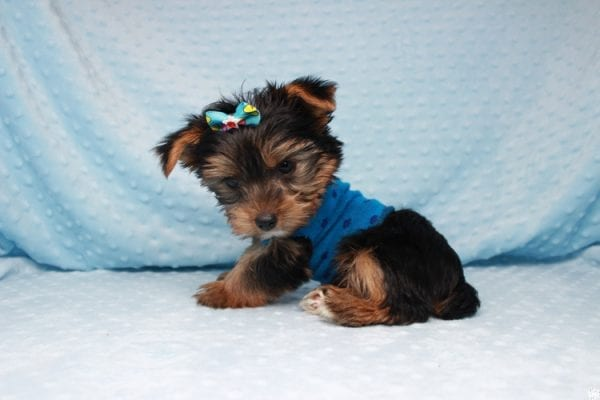 Facebook - Teacup Yorkie Puppy has found a good loving home with Barbara in Las Vegas, NV 89143.-26093