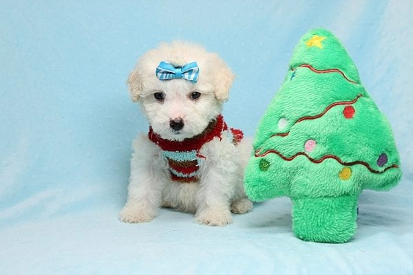 Garland - Toy Maltipoo Puppy Found His New Loving Home with Sophia and Richard From Moorpark CA 93021-26565