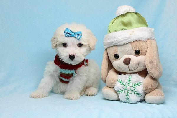 Garland - Toy Maltipoo Puppy Found His New Loving Home with Sophia and Richard From Moorpark CA 93021-0