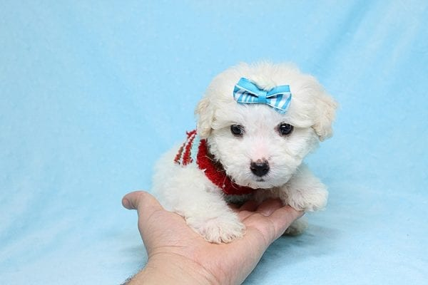 Garland - Toy Maltipoo Puppy Found His New Loving Home with Sophia and Richard From Moorpark CA 93021-26568