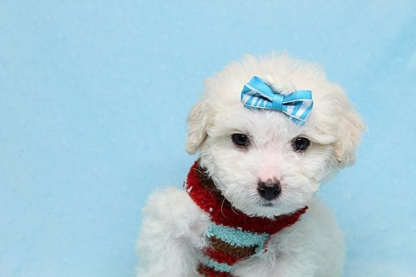 Garland - Toy Maltipoo Puppy Found His New Loving Home with Sophia and Richard From Moorpark CA 93021-26567