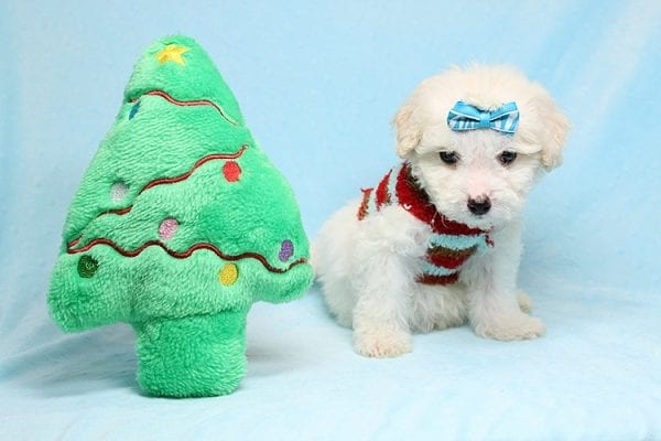 Garland - Toy Maltipoo Puppy Found His New Loving Home with Sophia and Richard From Moorpark CA 93021-26563