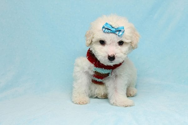 Garland - Toy Maltipoo Puppy Found His New Loving Home with Sophia and Richard From Moorpark CA 93021-26564