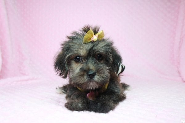 Gingerbread - Teacup Morkie Puppy Found Her good Loving Home With Layla S. In Santa Monica CA, 90403-26394