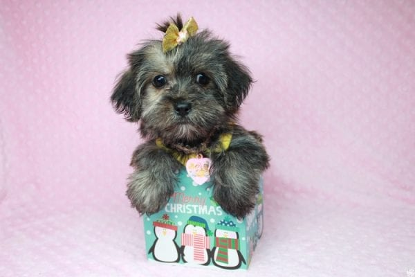 Gingerbread - Teacup Morkie Puppy Found Her good Loving Home With Layla S. In Santa Monica CA, 90403-26397