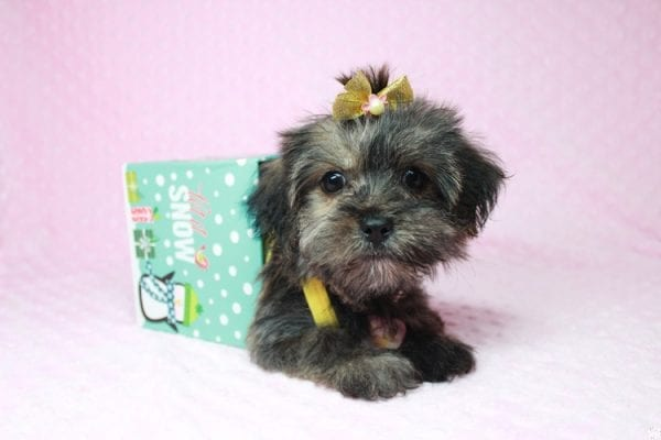 Gingerbread - Teacup Morkie Puppy Found Her good Loving Home With Layla S. In Santa Monica CA, 90403-26398