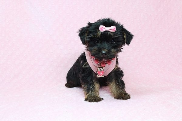 Julia Roberts - Teacup Yorkie Puppy in Los Angeles CA found a home with Lisa H from Sun Luis Obispo CA 93406-26191
