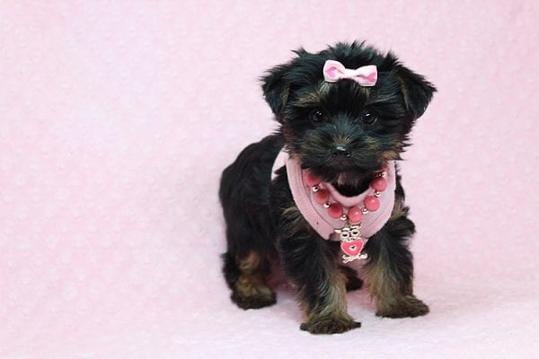 Julia Roberts - Teacup Yorkie Puppy in Los Angeles CA found a home with Lisa H from Sun Luis Obispo CA 93406-26195