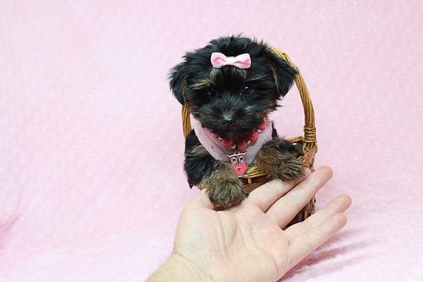 Julia Roberts - Teacup Yorkie Puppy in Los Angeles CA found a home with Lisa H from Sun Luis Obispo CA 93406-26198