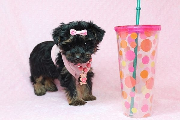 Julia Roberts - Teacup Yorkie Puppy in Los Angeles CA found a home with Lisa H from Sun Luis Obispo CA 93406-26192