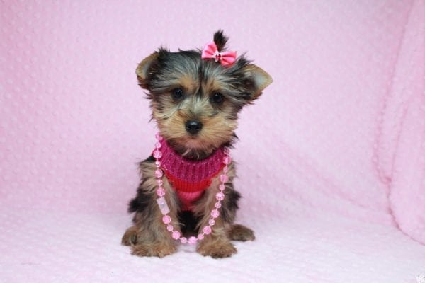 Lucy Liu - Toy Yorkie Puppy has found a good loving home with Ryan from Las Vegas, NV 89129-26423