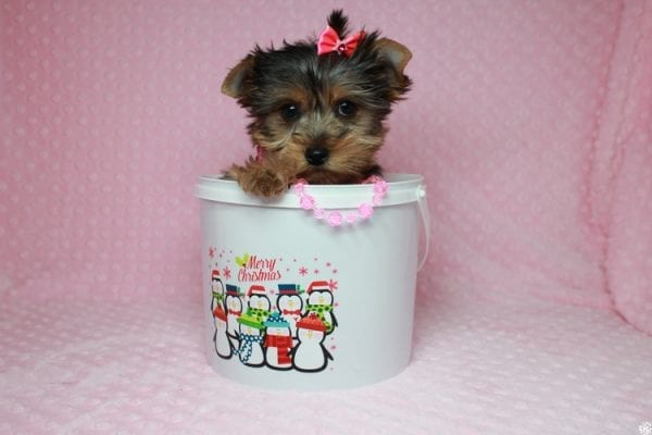 Lucy Liu - Toy Yorkie Puppy has found a good loving home with Ryan from Las Vegas, NV 89129-26424