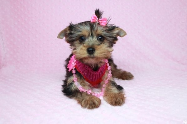 Lucy Liu - Toy Yorkie Puppy has found a good loving home with Ryan from Las Vegas, NV 89129-26419