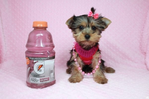 Lucy Liu - Toy Yorkie Puppy has found a good loving home with Ryan from Las Vegas, NV 89129-0
