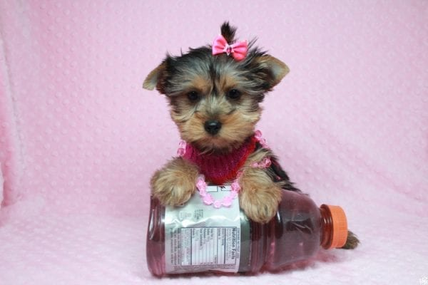 Lucy Liu - Toy Yorkie Puppy has found a good loving home with Ryan from Las Vegas, NV 89129-26420