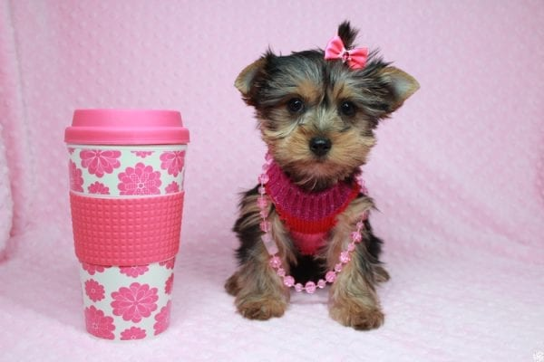 Lucy Liu - Toy Yorkie Puppy has found a good loving home with Ryan from Las Vegas, NV 89129-26422