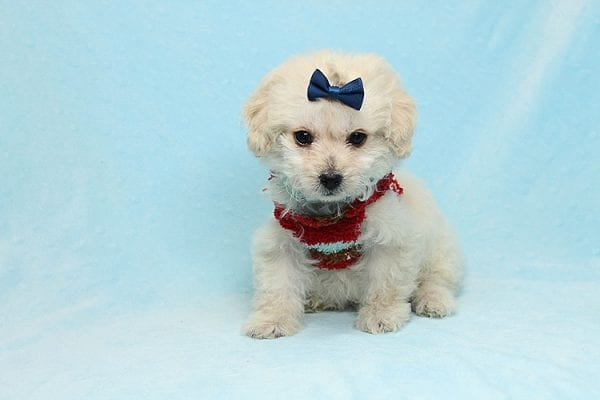 Mufasa - Toy Maltipoo Puppy has found a good loving home with Micaela from Orange, CA-26611