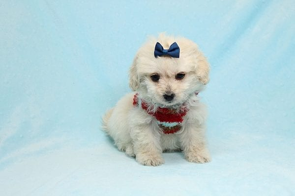 Mufasa - Toy Maltipoo Puppy has found a good loving home with Micaela from Orange, CA-26618