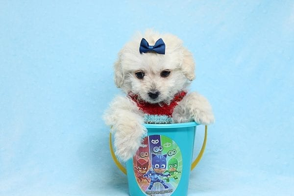 Mufasa - Toy Maltipoo Puppy has found a good loving home with Micaela from Orange, CA-0