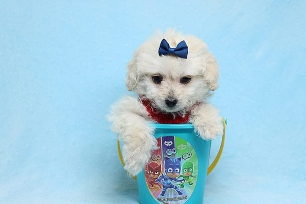 Mufasa - Toy Maltipoo Puppy has found a good loving home with Micaela from Orange, CA-26621