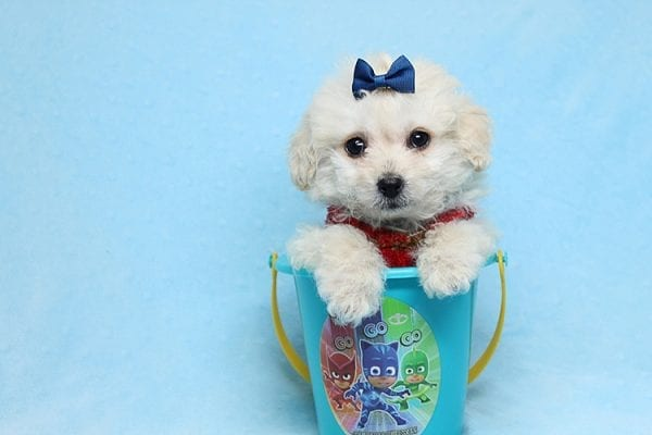Mufasa - Toy Maltipoo Puppy has found a good loving home with Micaela from Orange, CA-26622