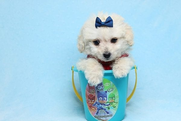 Mufasa - Toy Maltipoo Puppy has found a good loving home with Micaela from Orange, CA-26623