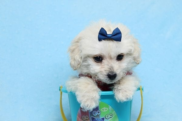 Mufasa - Toy Maltipoo Puppy has found a good loving home with Micaela from Orange, CA-26624