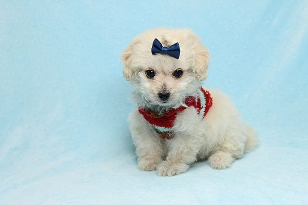 Mufasa - Toy Maltipoo Puppy has found a good loving home with Micaela from Orange, CA-26612