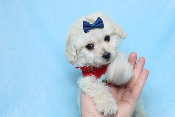 Mufasa - Toy Maltipoo Puppy has found a good loving home with Micaela from Orange, CA-26613