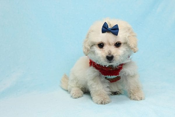 Mufasa - Toy Maltipoo Puppy has found a good loving home with Micaela from Orange, CA-26615