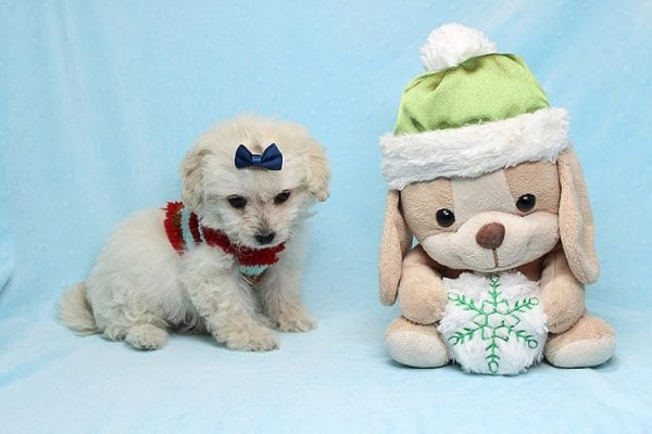 Mufasa - Toy Maltipoo Puppy has found a good loving home with Micaela from Orange, CA-26614
