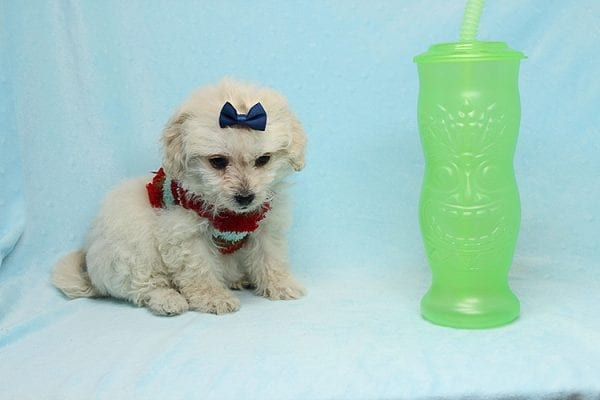 Mufasa - Toy Maltipoo Puppy has found a good loving home with Micaela from Orange, CA-26616