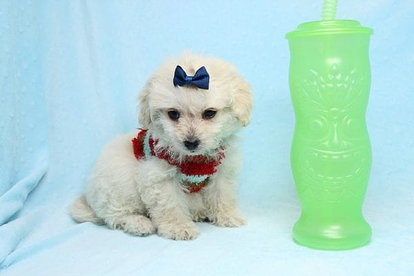 Mufasa - Toy Maltipoo Puppy has found a good loving home with Micaela from Orange, CA-26617