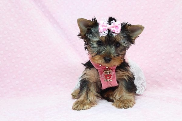Pandora - Teacup Yorkie Puppy has found a good loving home with Debbie from Tucson AZ 85739-26479
