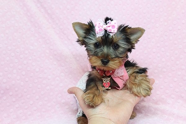 Pandora - Teacup Yorkie Puppy has found a good loving home with Debbie from Tucson AZ 85739-26483