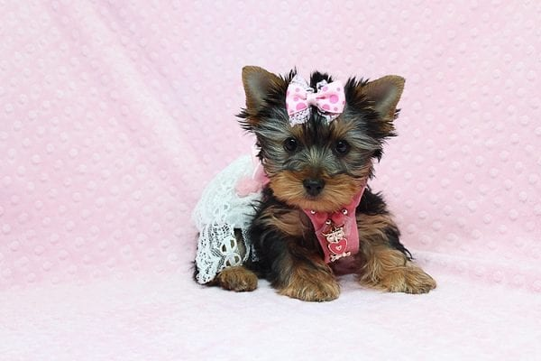 Pandora - Teacup Yorkie Puppy has found a good loving home with Debbie from Tucson AZ 85739-26485