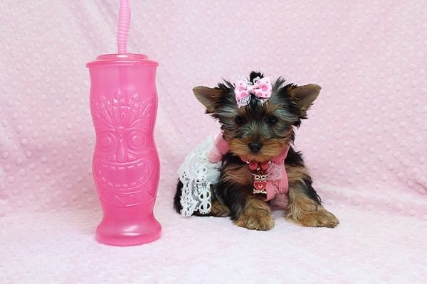 Pandora - Teacup Yorkie Puppy has found a good loving home with Debbie from Tucson AZ 85739-26486