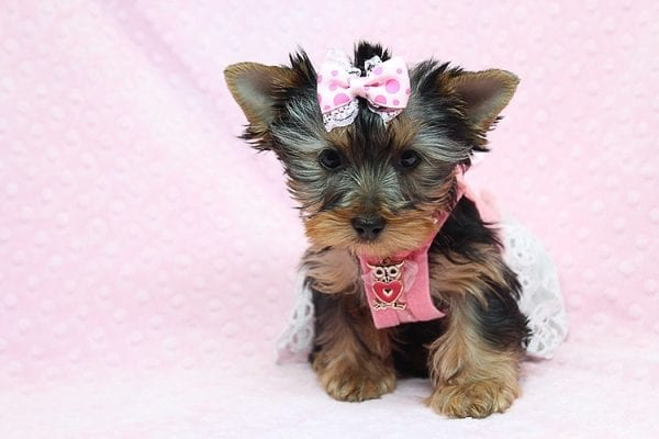 Pandora - Teacup Yorkie Puppy has found a good loving home with Debbie from Tucson AZ 85739-26477