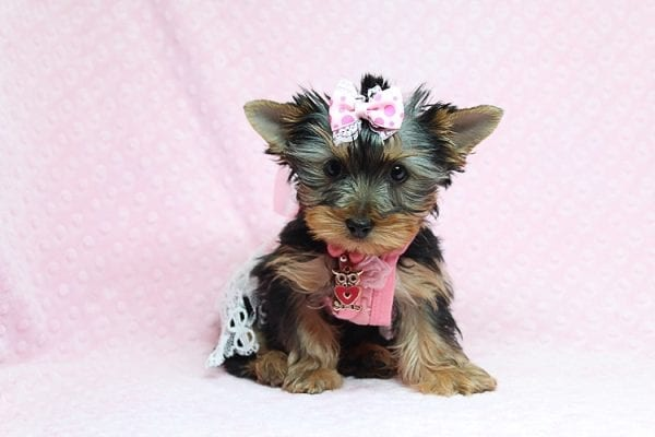 Pandora - Teacup Yorkie Puppy has found a good loving home with Debbie from Tucson AZ 85739-26489