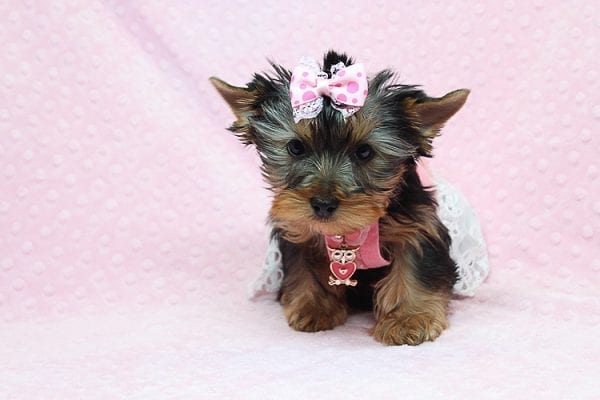 Pandora - Teacup Yorkie Puppy has found a good loving home with Debbie from Tucson AZ 85739-26478