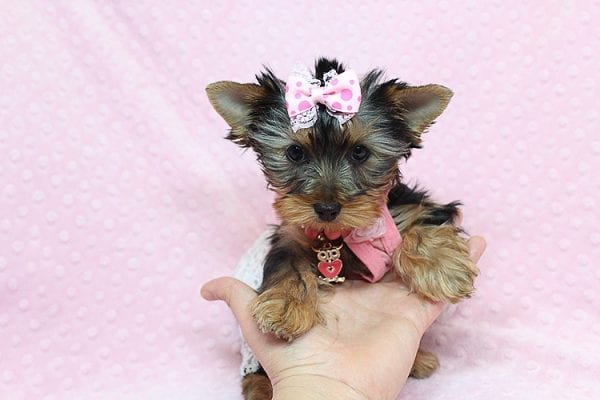 Pandora - Teacup Yorkie Puppy has found a good loving home with Debbie from Tucson AZ 85739-26481