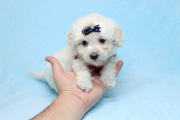 Rafiki - Teacup Maltipoo Found His New Loving Home with Dawn From Studio City CA 91604-26625