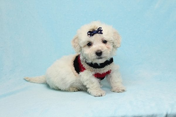 Rafiki - Teacup Maltipoo Found His New Loving Home with Dawn From Studio City CA 91604-26631