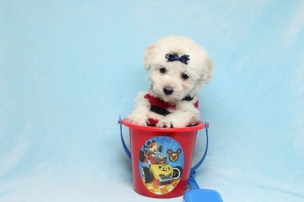 Rafiki - Teacup Maltipoo Found His New Loving Home with Dawn From Studio City CA 91604-26636