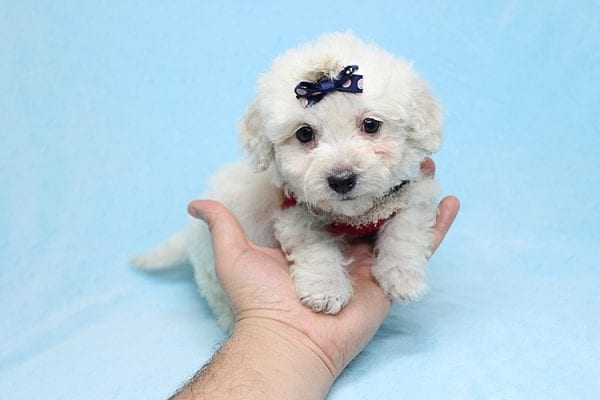 Rafiki - Teacup Maltipoo Found His New Loving Home with Dawn From Studio City CA 91604-26626