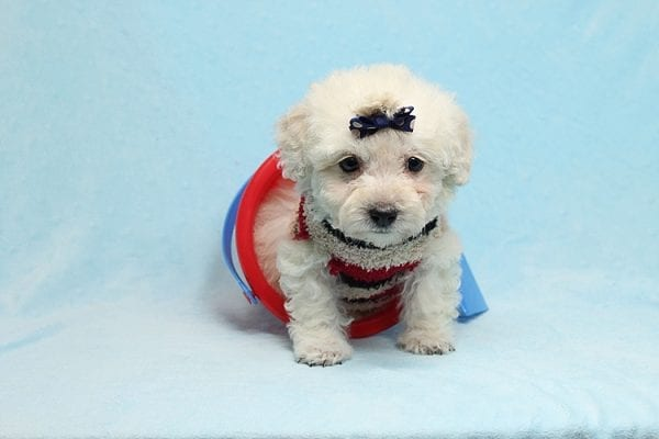 Rafiki - Teacup Maltipoo Found His New Loving Home with Dawn From Studio City CA 91604-26637