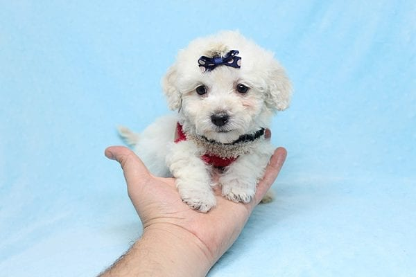 Rafiki - Teacup Maltipoo Found His New Loving Home with Dawn From Studio City CA 91604-26629