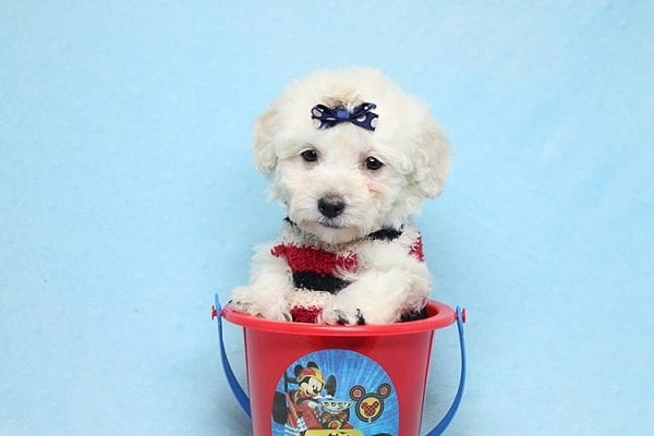 Rafiki - Teacup Maltipoo Found His New Loving Home with Dawn From Studio City CA 91604-26630