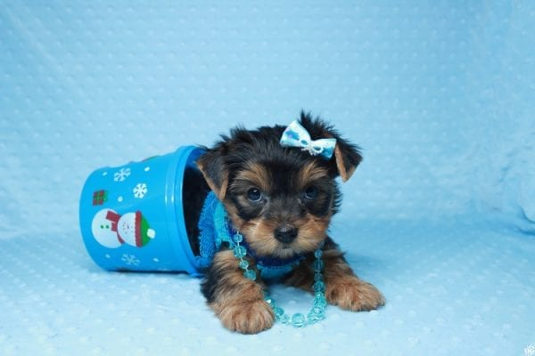 Santa's Little Helper - Teacup Yorkie Puppy has found a good loving home with Diana from Las Vegas, NV 89166.-26447