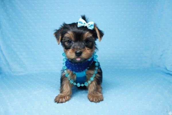Santa's Little Helper - Teacup Yorkie Puppy has found a good loving home with Diana from Las Vegas, NV 89166.-26443